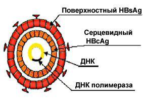 Делать ли прививку от гепатита в 4 месяца